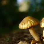 Backyard-Mushrooms-Kurt-Zitzelman